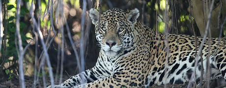 Jaguar Photo | Pantanal Trackers Tours