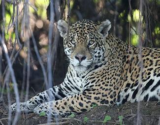 JaguarPhoto | Pantanal Trackers Tours
