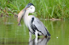 Cocoi Heron | Pantanal Trackers Tours