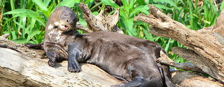 Giant Otter | Pantanal Trackers Tours