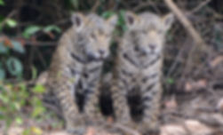 Jaguar Offspring | Pantanal Trackers Tours