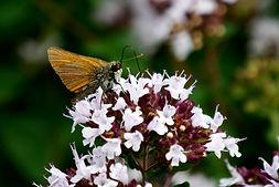 vlinder 22.JPG