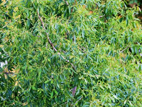 Tea Tree (Melaleuca alternifolia.)