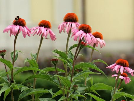 Echinacée (échinacea purpurea L.)