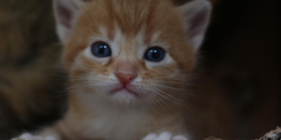 A call for volunteers to be a Cat/Kitten Foster 