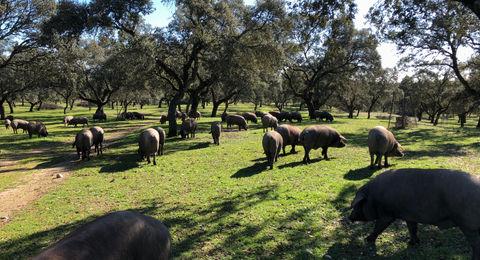 Imagen de la dehesa con los cerdos ibéricos comiendo