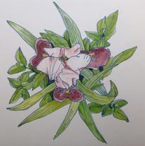 赤茶アヤメ Iris brun.02