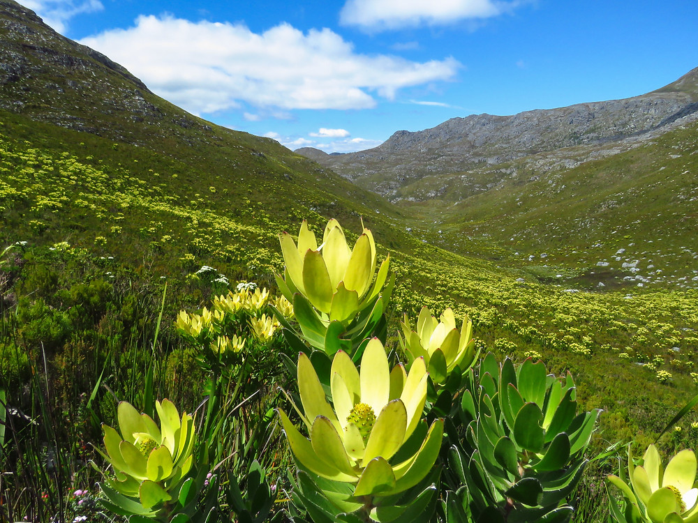 A field of Conebush from the Protea Family