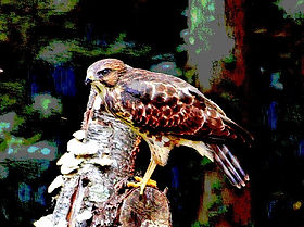 Chicken Hawk 10.jpg