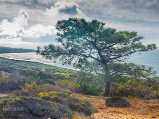 Hike amongst the rarest pine tree in the world: Torrey Pines, San Diego