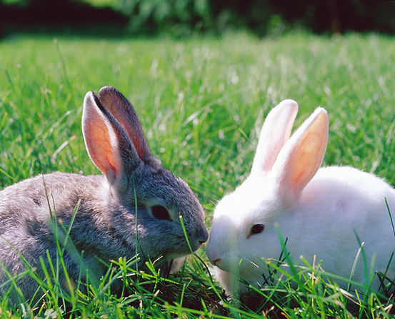 Two bunnies sitting nose to nose in the grass