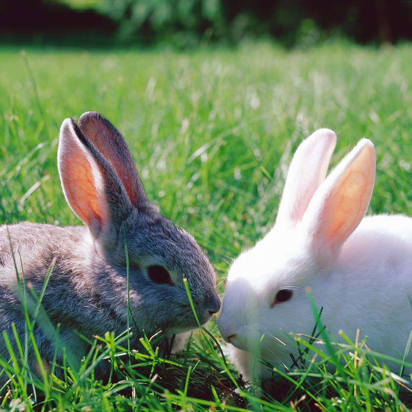 Easter Bunnies from Urban Quack Farms