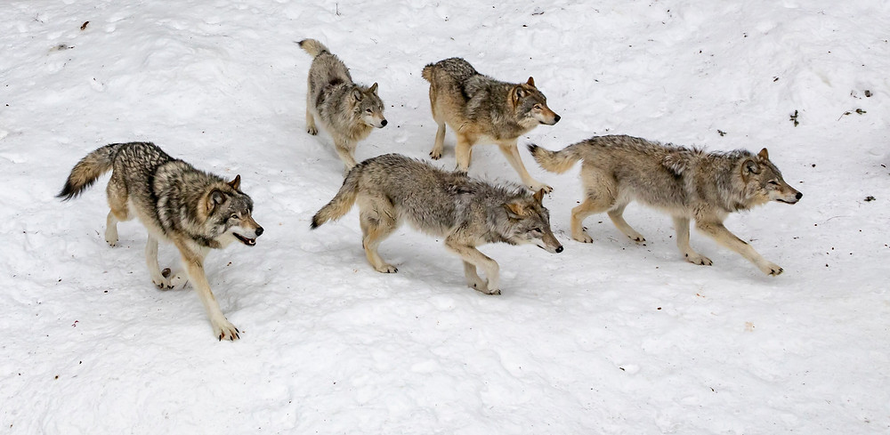 Pack of wolves on the snow