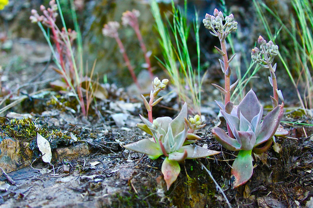Succulents Along The Trail