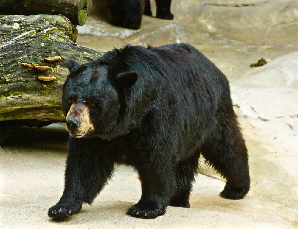 Black Bear From The Front