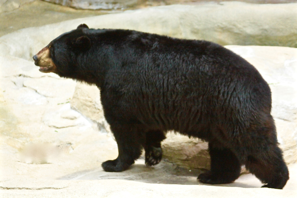 Black Bear From The Side