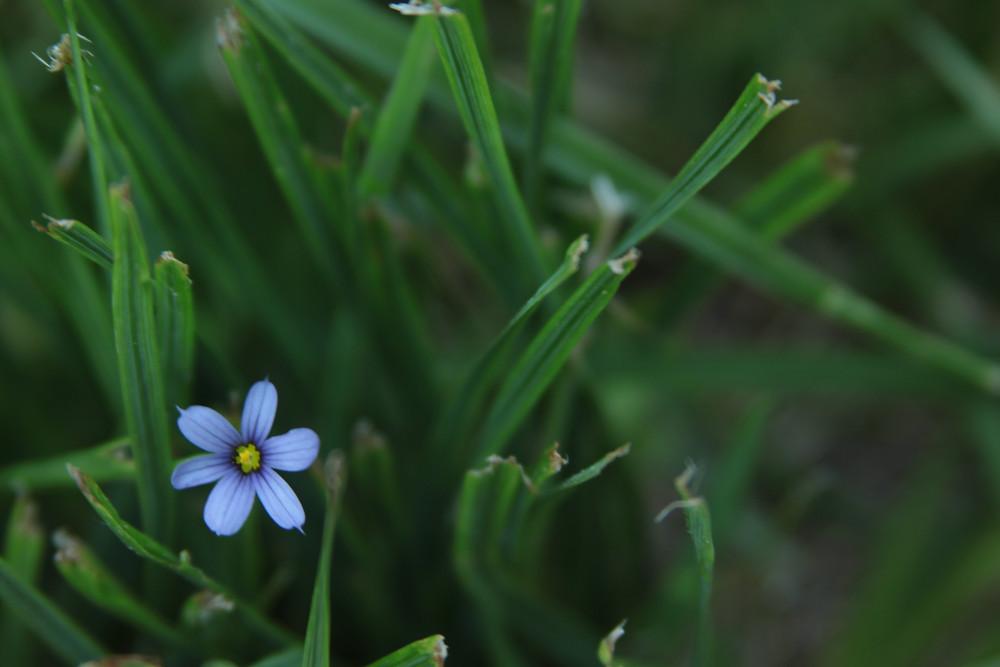 Small Blue Wildflower