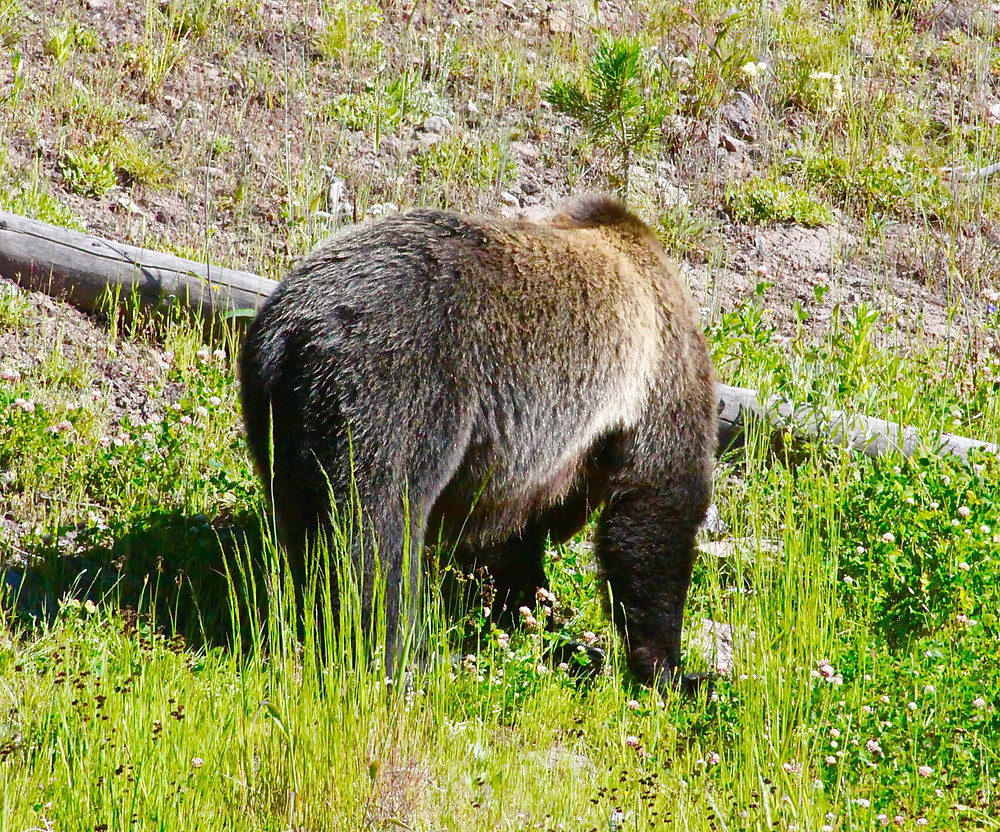 Grizzly From Behind