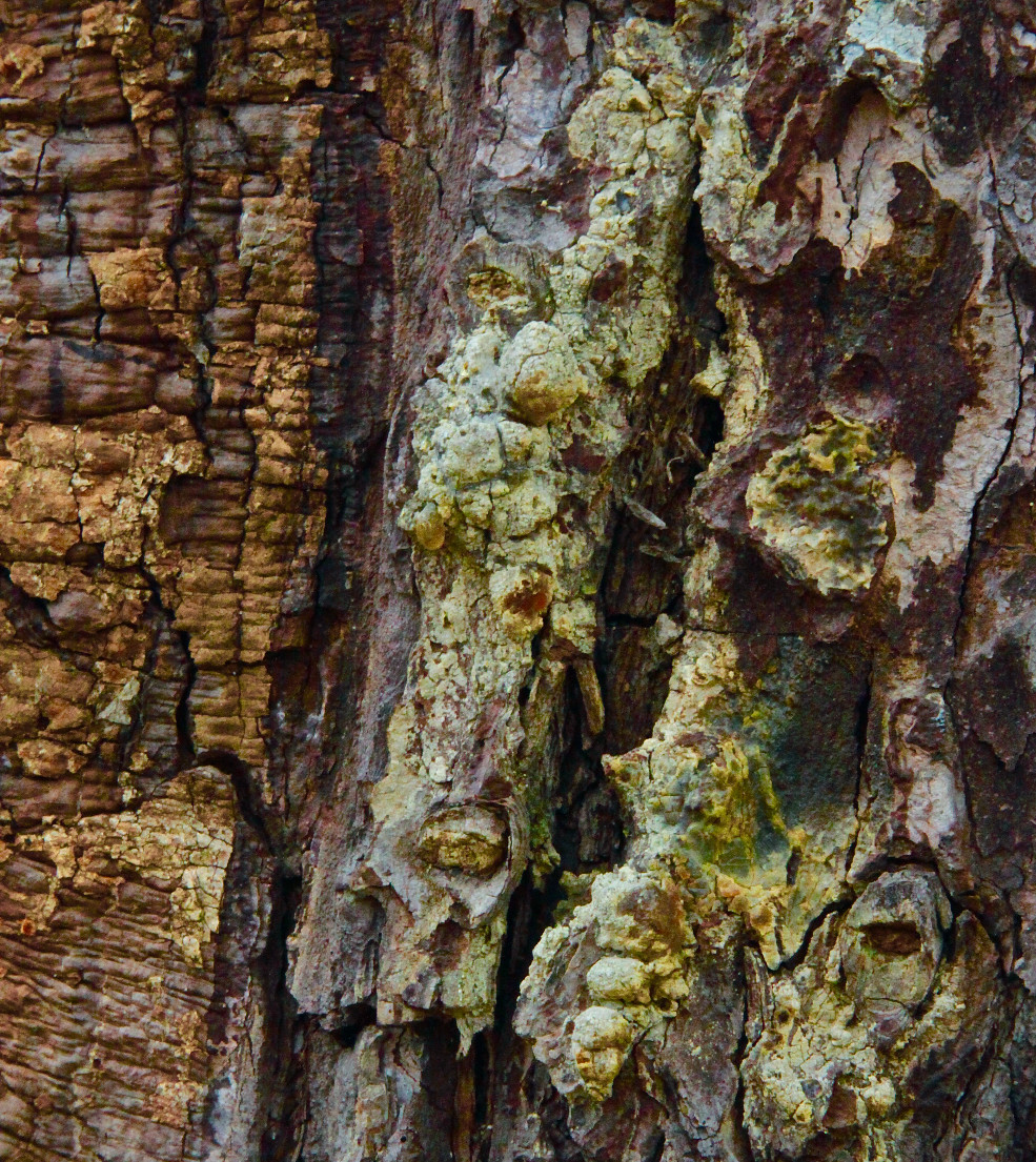 Dried sap on tree bark