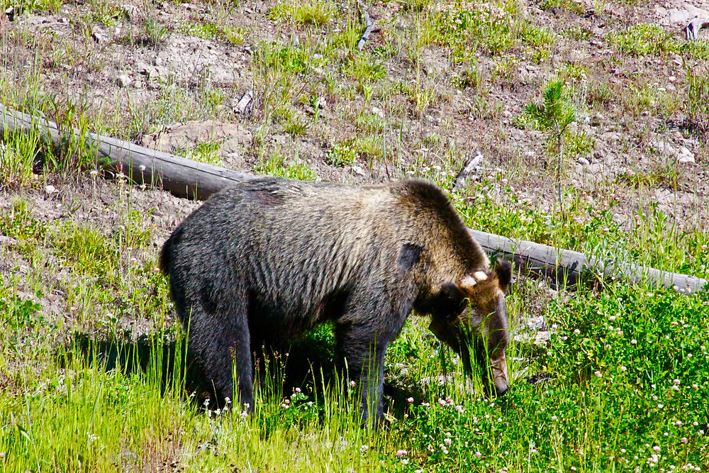 A Grizzly Foraging