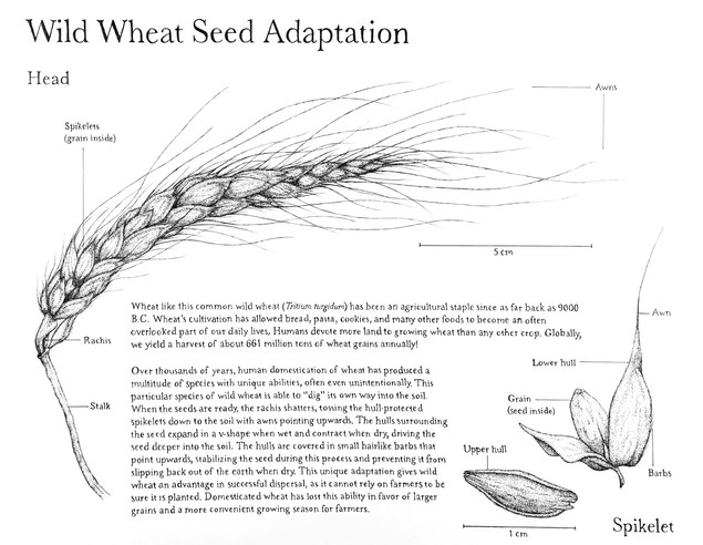 Wild Wheat Seed Adaptation