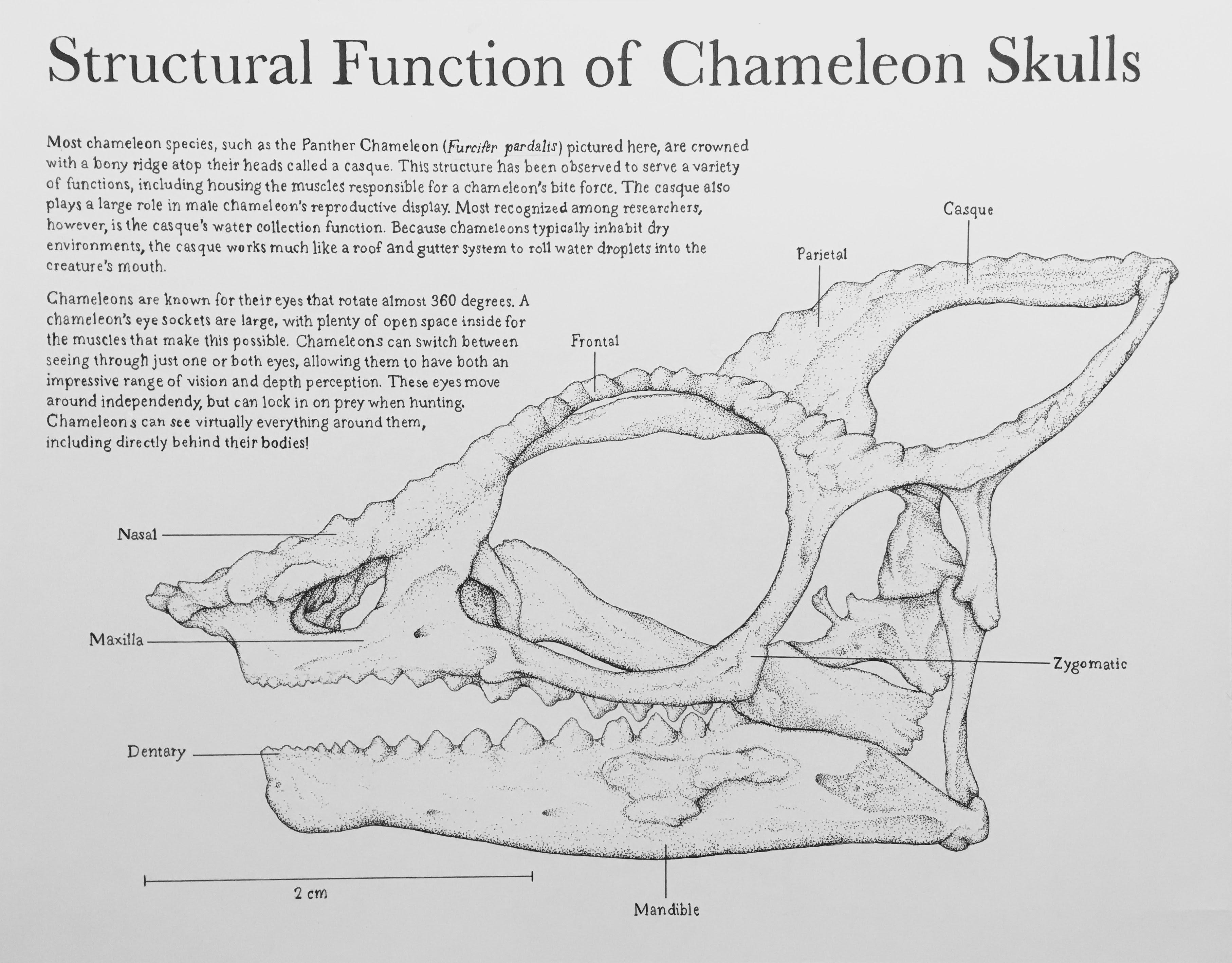 Chameleon Skull Study