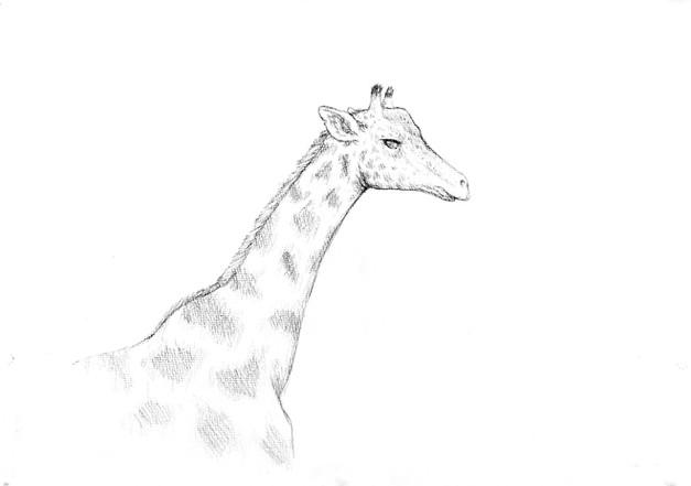 Giraffe Sketch