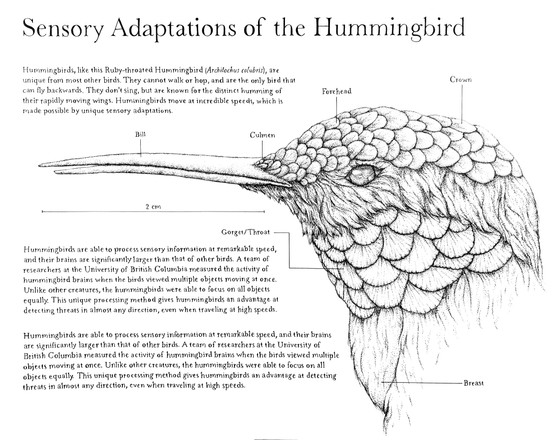 Sensory Adaptations of the Hummingbird