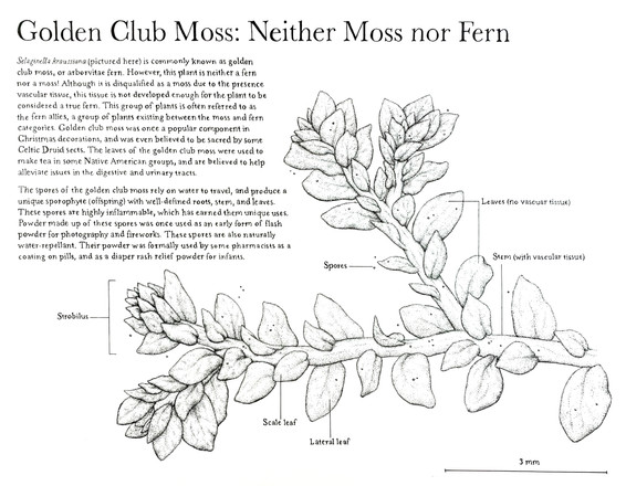Golden Club Moss: Neither Moss nor Fern