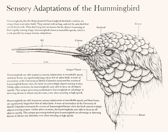 Sensory Adaptations of the Hummingbird