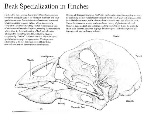 Beak Specialization in Finches