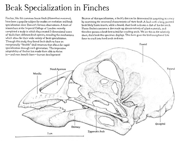 Beak Specialization in Finches