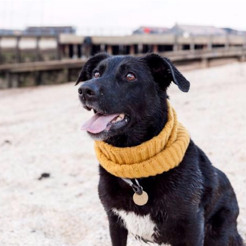 Dog Snood - in English Mustard (Small)