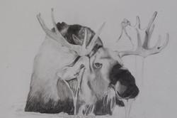 Portrait of a Wary Moose