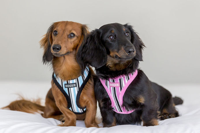 DOGUE_Stripe_Harness_PinkBlueLS-1024x683