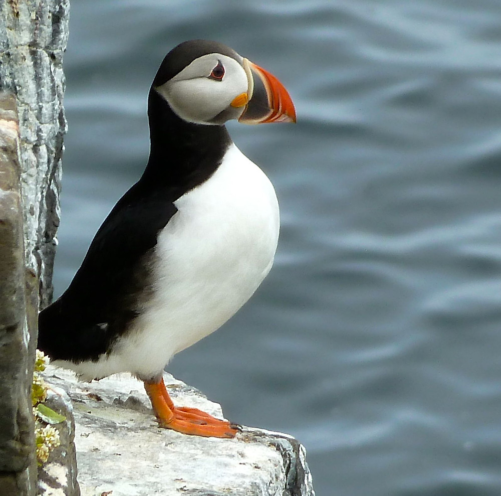 http://icelanddefrosted.com/2013/04/07/puffin-wreck-a-sea-rooster/
