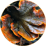Lingzhi or reishi mushroom.png