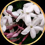 Jasminum subtriplinerve.png