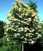 Lilac, Ivory Silk.JPG