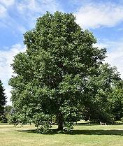 swamp oak.jpg