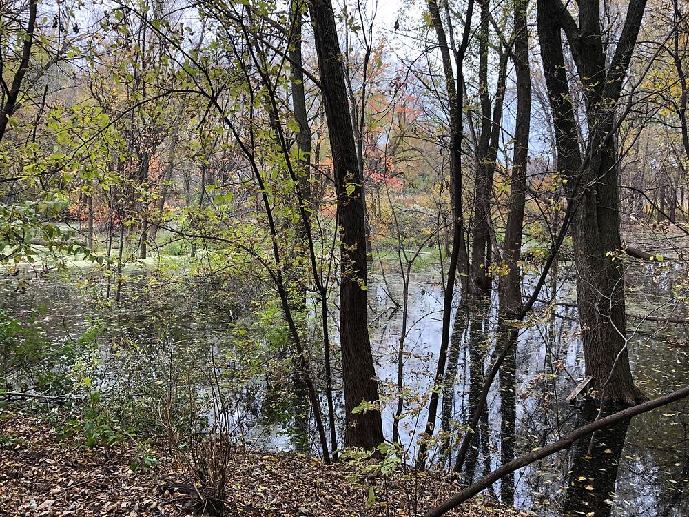 trees standing in swamp water.