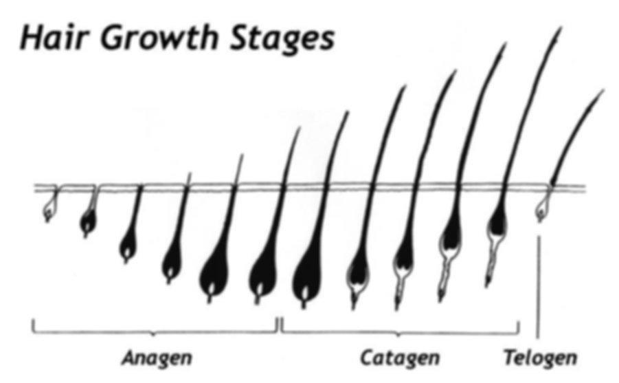 eyelash growth cycle