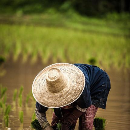 Paysan dans rizière