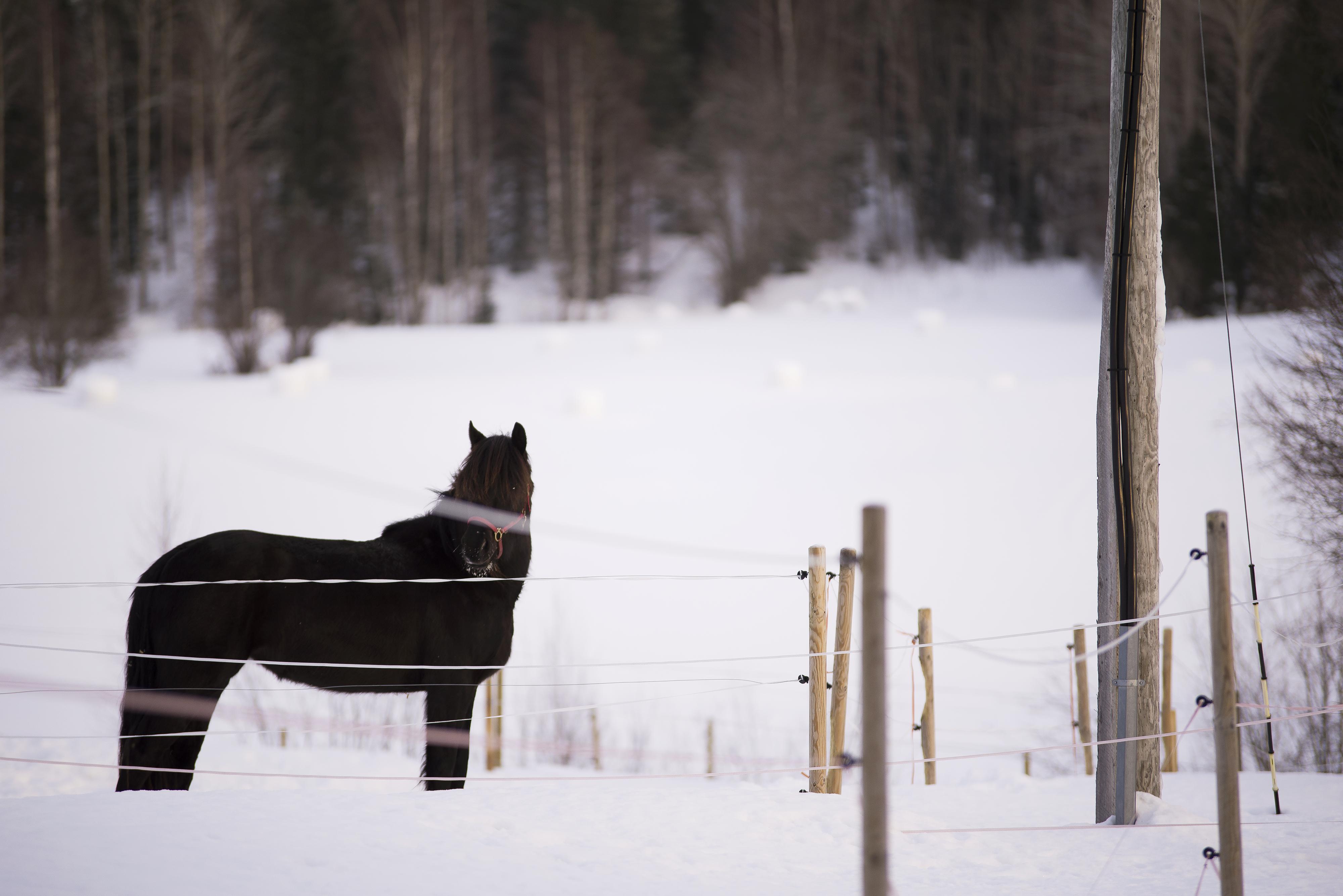 vintermiljö hästhage