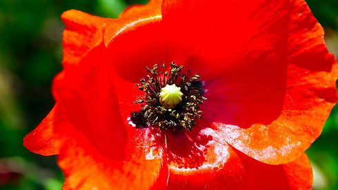 flower_red_poppy_wildflower.jpg
