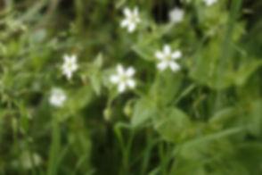 flower_white_flower_wildflower_0.jpg