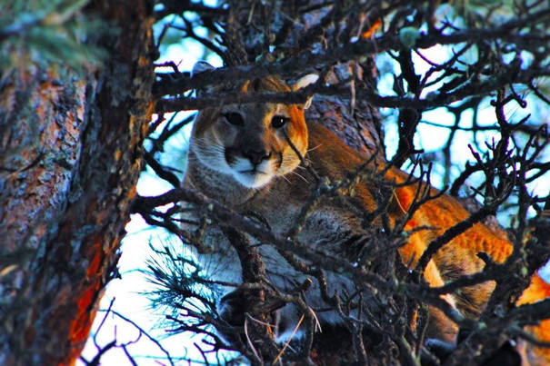 Guided Wyoming Mountain Lion Hunts - O'Brien Creek Outfitters