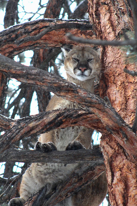 Wyoming Guided Mountain Lion Hunts