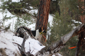 Hound hunting in Wyoming with O'Brien Creek Outfitters