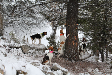 Hunting with hound - O'Brien Creek Outfitters